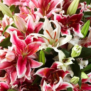 Лилии восточные, смесь
