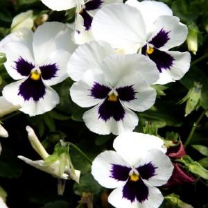 Виола крупноцветковая Силбербрау