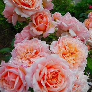Роза Поль Бокус штамбовая
