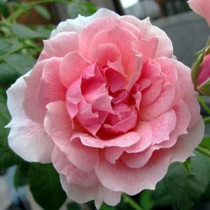 Роза Кир Роял