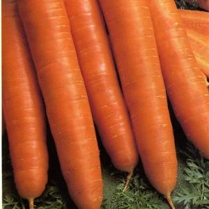 Морковь Королева осени столовая