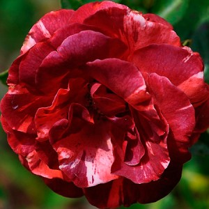 Роза Брауни MEILLAND