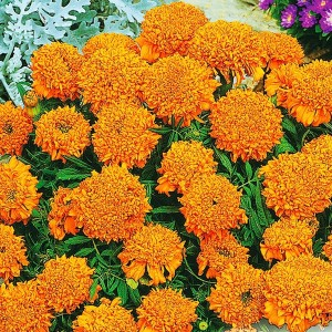 Бархатцы прямостоячие Купидон оранжевый (20 см)