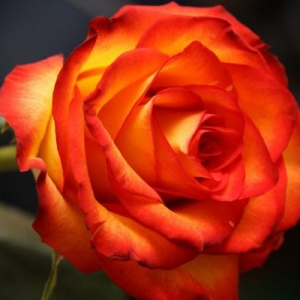 Роза Моника