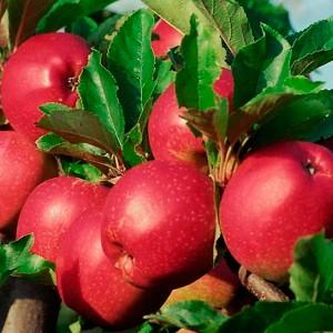 Яблоня летняя Коваленковское