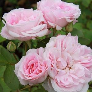 Роза штамбовая Моден Блаш