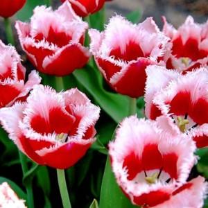 Тюльпан Канаста