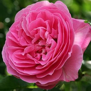 Роза штамбовая Луис Одье