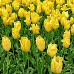 Тюльпан Биг Смайл
