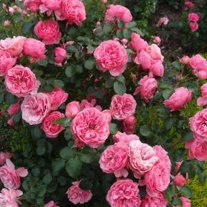 Роза Леонардо да Винчи штамбовая