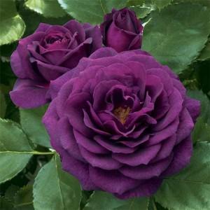 Роза штамбовая Перпл Эден