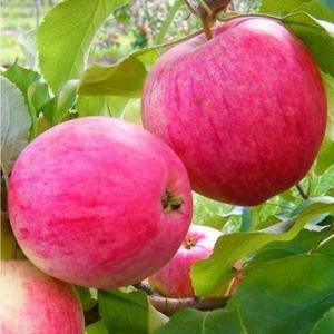 Яблоня Розовый налив (80-100 см)