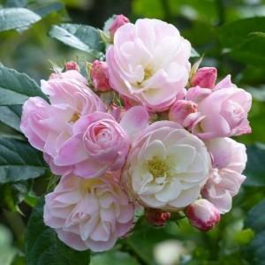 Роза Букет Парфе