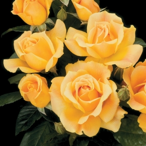 Роза Изи Гоуин