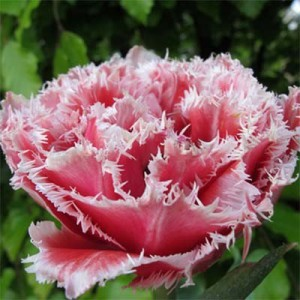 Тюльпан Брест