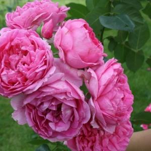Роза Луис Одье штамбовая