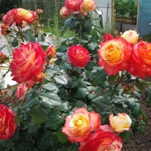 Роза Бредфорд