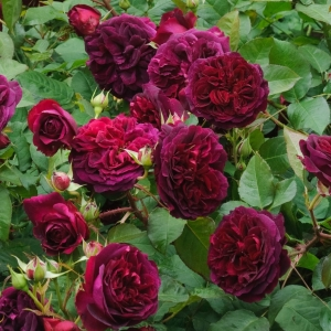 Роза Уильям Шекспир штамбовая