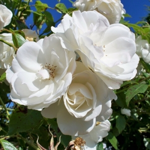 Роза Айсберг