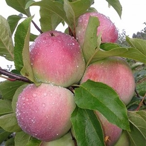 Яблоня осенняя Паланэз (Полонез)