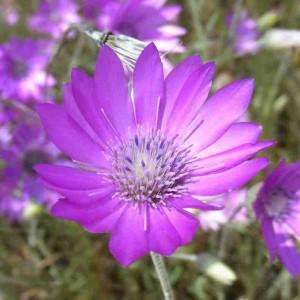 Ксерантемум выращивание из семян 224
