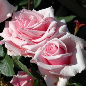 Роза Савой Хотел