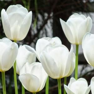 Тюльпан Катерина