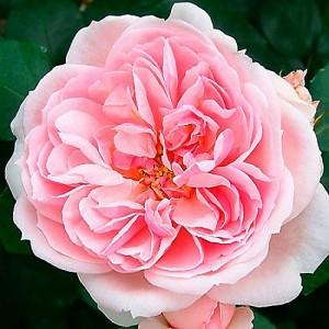 Роза Синдерелла KORDES