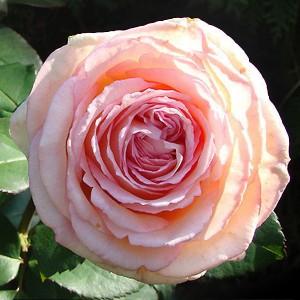 Роза Сувенир Де Баден-Баден KORDES