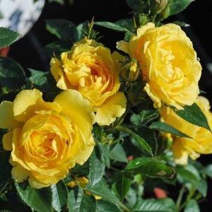Роза Сан Хит