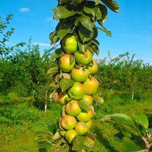 Яблоня Медок (узкопирамидальная)