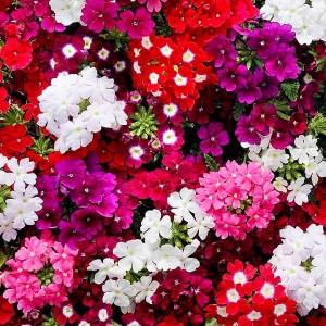 Вербена Крупноцветковая смесь