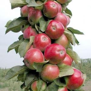 Яблоня Валюта (узкопирамидальная)
