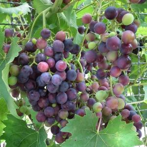 Виноград Мускат Блю