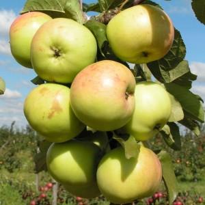 Яблоня зимняя Белана