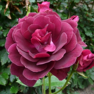 Роза Бургунди Айс