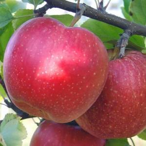 Яблоня зимняя Лигол