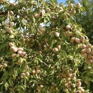 Миндаль Никитский-62 плодовый
