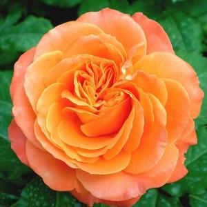 Роза Ибица Interplant