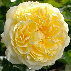 Роза Надя Мейяндекор