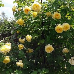 Роза Пилигрим штамбовая