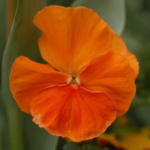 Виола виттрока Оранжевая
