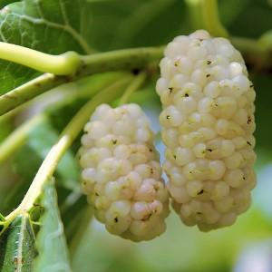 Шелковица Белая медовая
