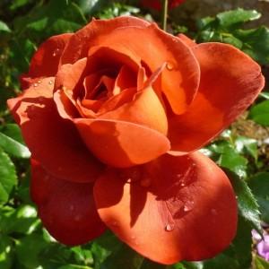 Роза Хот Чоколэт