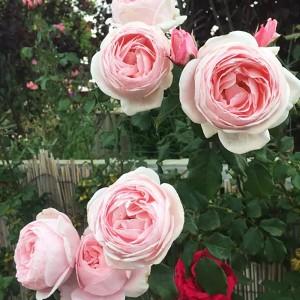 Роза Нахема