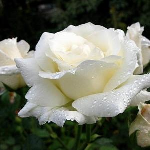 Роза Уайт Голд