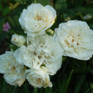 Роза штамбовая Уайт Мейдиланд