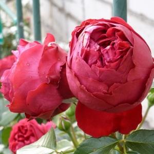 Роза Ред Эден Роуз