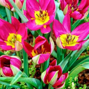 Тюльпан Одалиска