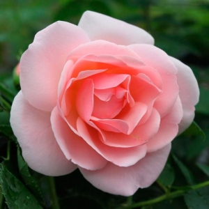 Роза Астрид Линдгрен